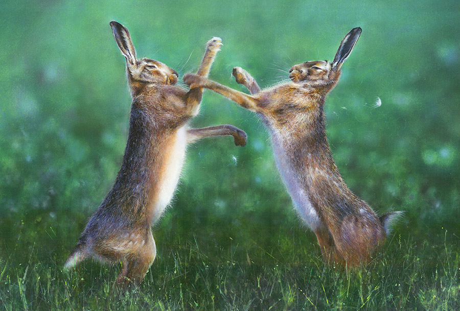 james-green-boxing-hares-painting
